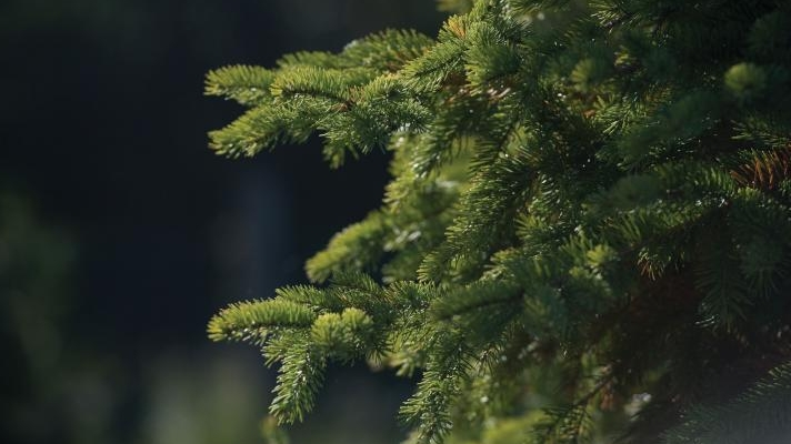 Higher demand for Christmas trees than available, recession takes toll